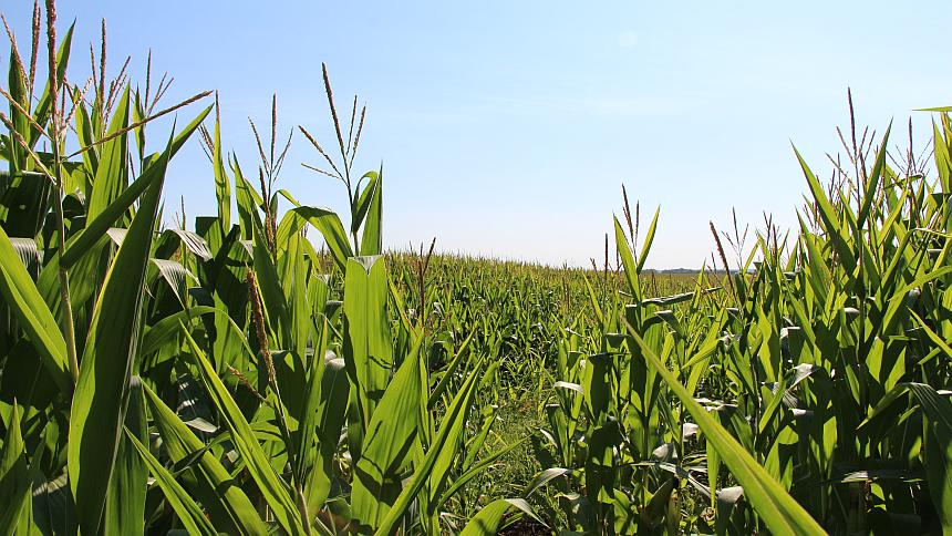 Corn SE Minn Summer 2015