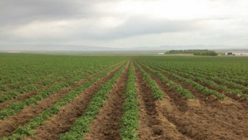Potato Field on Wilcox Farm in Idaho Falls, ID