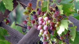 GrowingProduce.com: Smart Vineyards Set to Revolutionize Wine-making