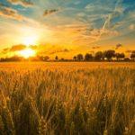Field-sunset