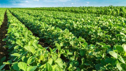 Brazil-Soybean-field