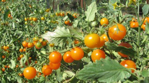 Tomato-crop-India