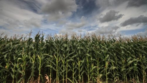 corn weather