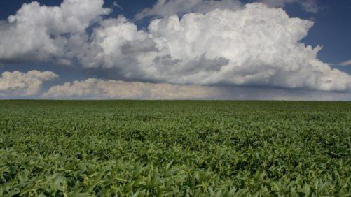 Soybean-Field-Photo-Barbara-Eckstein