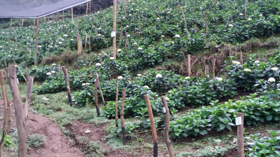 Hydrangea-Farm-Colombia
