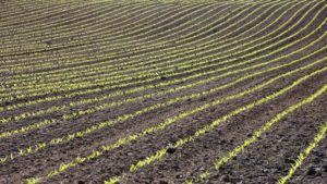 Soil-Corn-plants-field