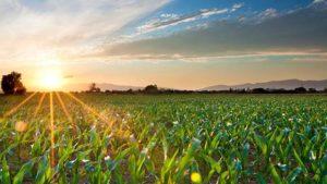Corn field sunset
