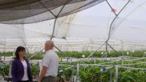 Driscolls-Strawberries-Greenhouse